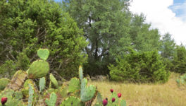 Prickly Pear ready to bloom on this .57 Acre lot in Bandera River Ranch.