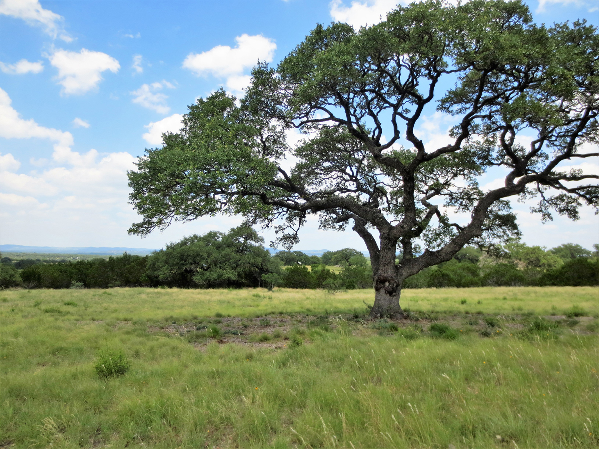 Oak trees have been professionally groomed.