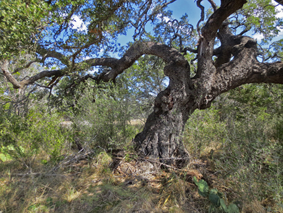 This gnarled, ancient oak is majestic near the bluff above the river.