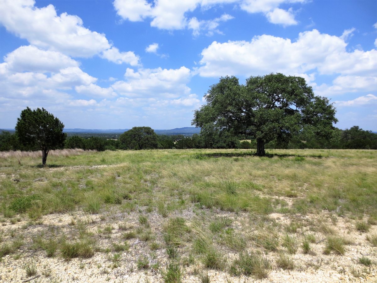 Another view of oak trees with distant hills in the background.