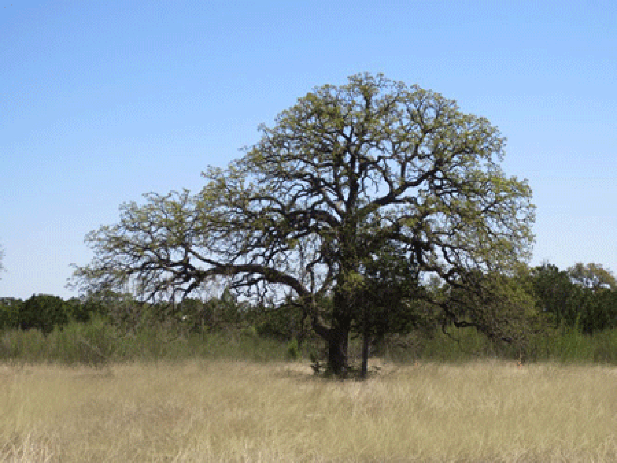 A large oak tree