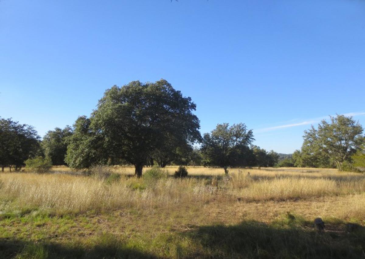 Good size oaks on level land