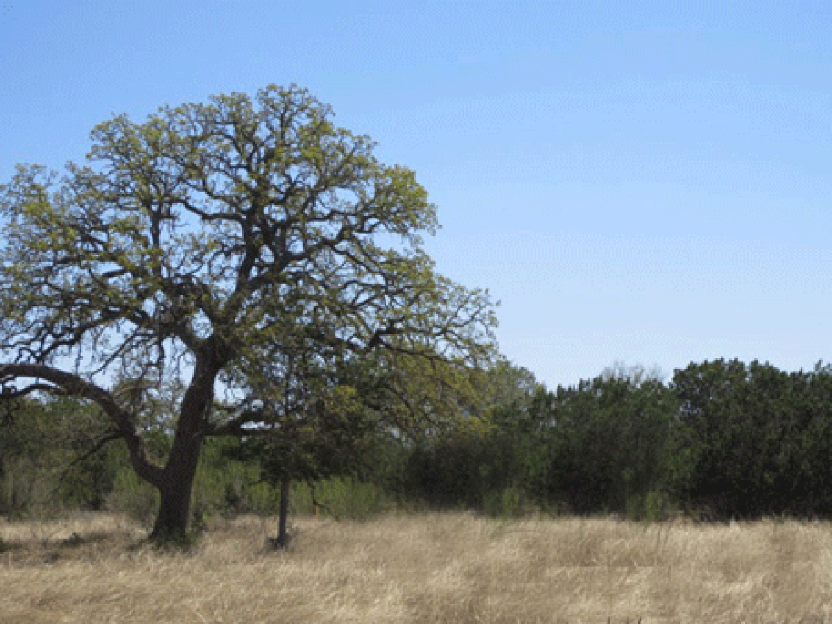 Oak tree on left with other variety of trees on right