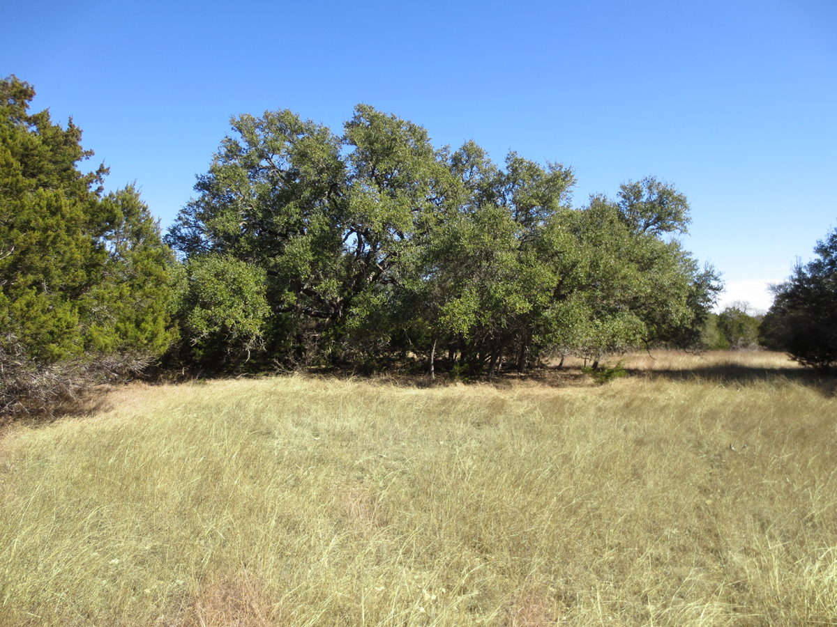Another oak grove.