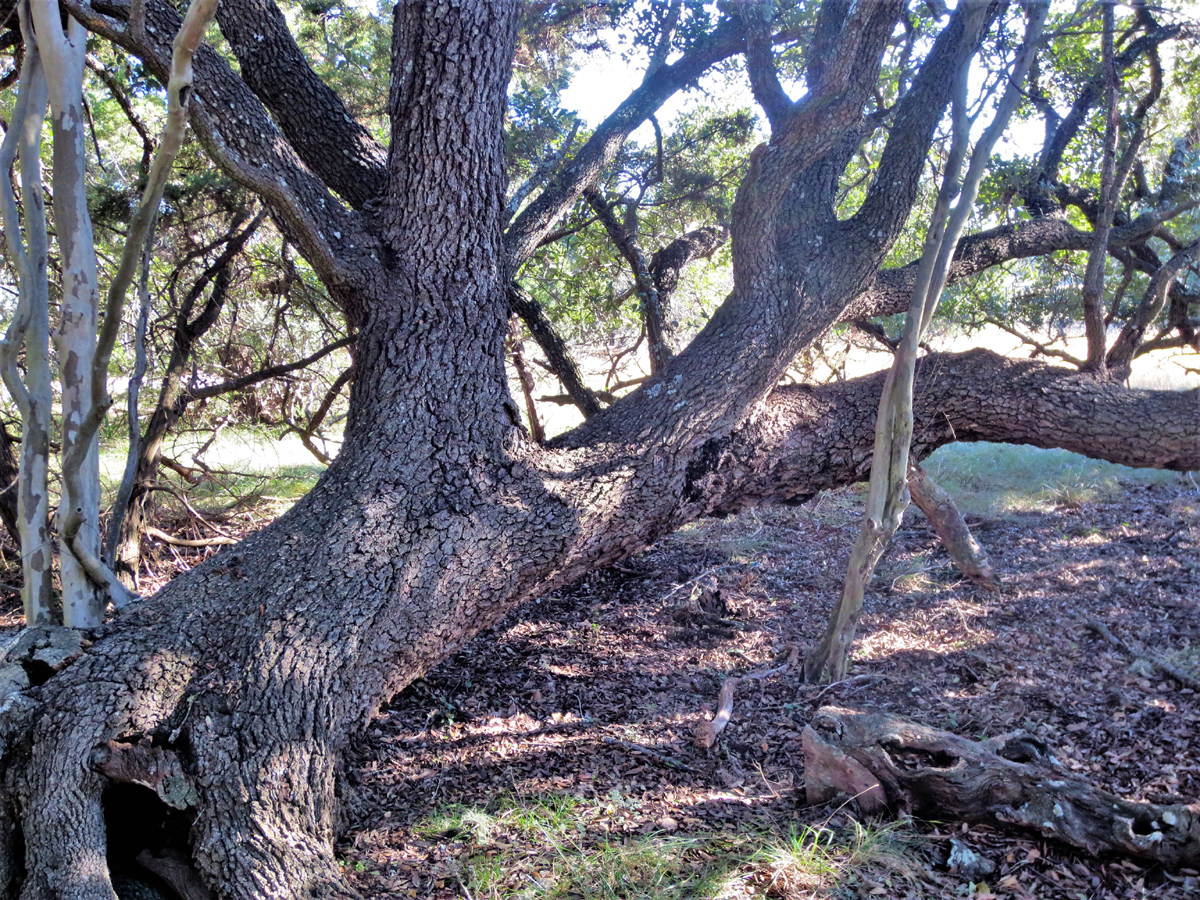 Old water oak stays close to the ground but provides cover for wildlife