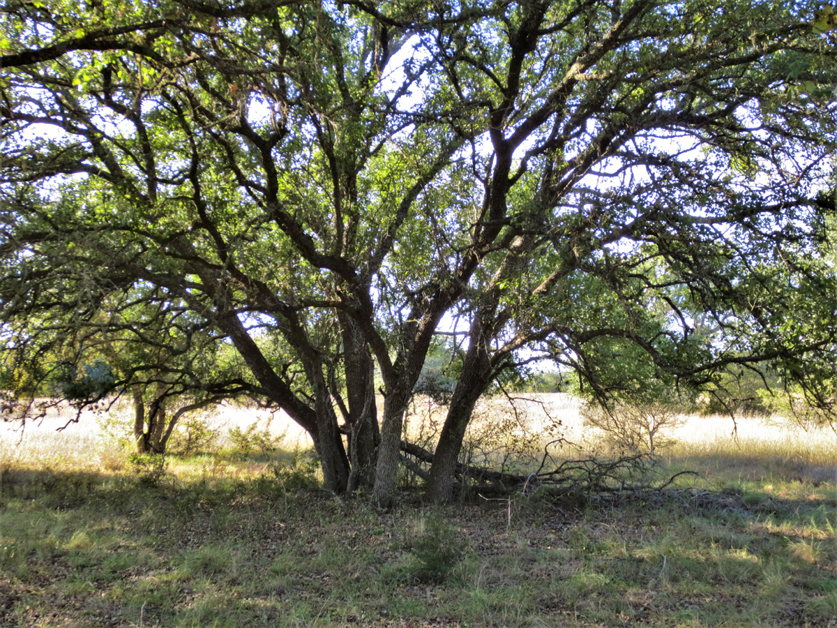 Under the shade of an oak trees
