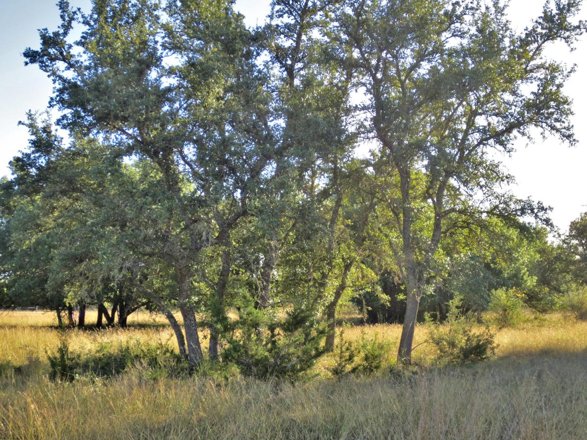 Oaks witha little light brush providing shelter for wildlife