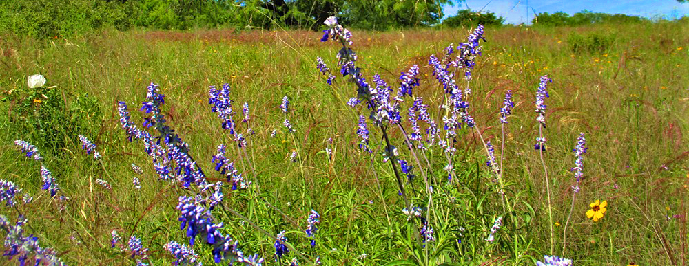 wildflowers in the texas hills