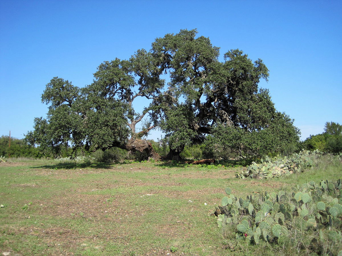 Giant old oak on Flying L Lots totaling 1 acre
