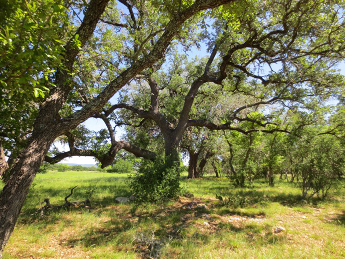Mature oaks provide shade.