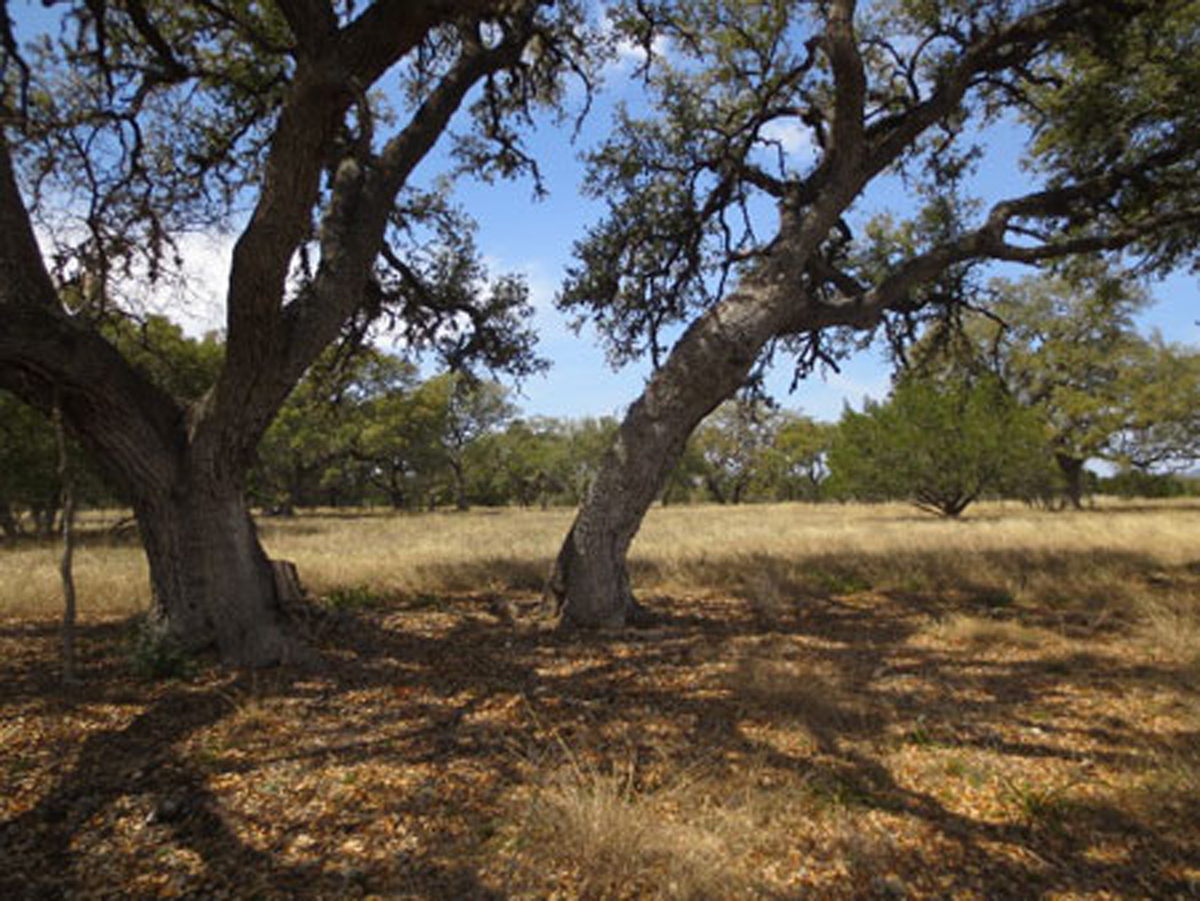 Mature oaks provide shade for hot afternoons