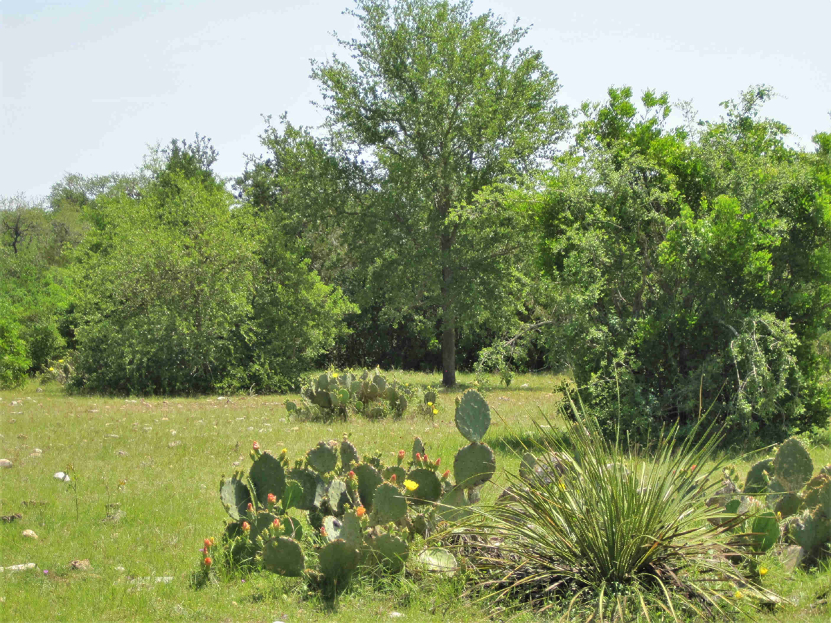 Oak Trees and native plants and flowering paddle cactus